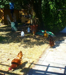 Urban chickens in Seattle's Wallingford neighborhood.  Photo by Rusty Miller
