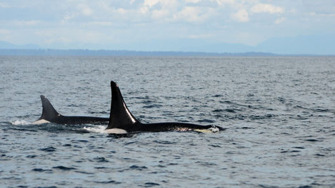 "Southern Resident orca J2, or ""Granny"" (left), with L87, or ""Onyx,"" in the foreground in the southern Strait of Georgia off Vancouver Island, British Columbia at 2:00 pm, May 9, 2014.  Credit: Capt. Simon Pidcock of Ocean EcoVentures"