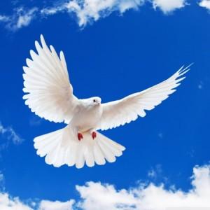 white-dove_00069459
