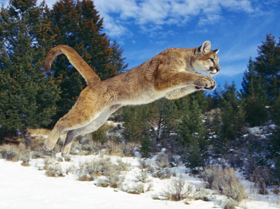 Leaping cougar  Photo courtesy of True Wild Life  true-wildlife.blogspot.com/2011/02/cougar.html