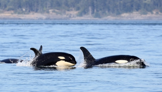 Class of 2015 whales swim near Victoria, B.C. (Valerie Shore/Eagle Wing Tours and Shorelines Photography)