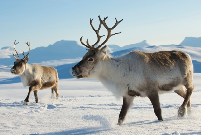 Reindeer in natural environment, Tromso region, Northern Norway.   Photo courtesy of mentalfloss.com