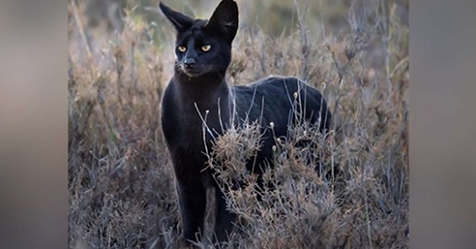 african black wild cat