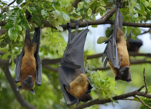 fruit-bats